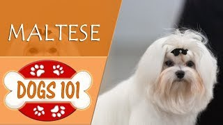 Dogs 101 - MALTESE - Top Dog Facts About the MALTESE