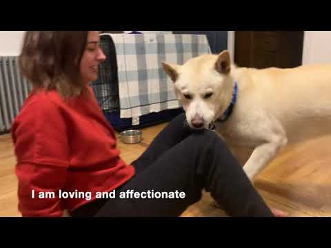 Munchkin, an adopted Jindo Mix in Brooklyn, NY_image-1