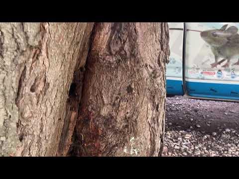 Dead Tree Attracts Carpenter Ants in...
