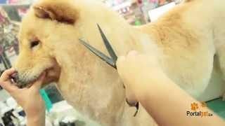 Portal Pet - Chow Chow banho e tosa na tesoura