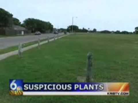 Cops pull up hundred of suspected pot plants from a city park only to find out they were pulling up common weeds.