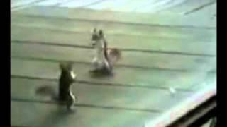 Белка прикидывается мёртвой в драке