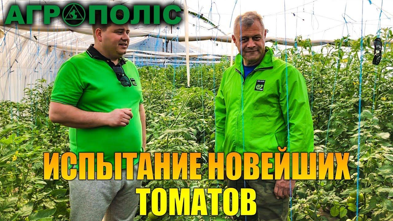 Испытание новейших томатов от Enza Zaden