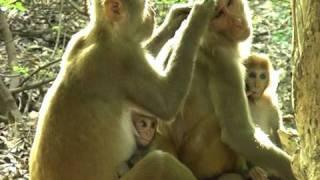 Rhesus macaque in Rajasthan