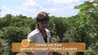 Een veelbelovende biobrandstof voor Afrika (kort)
