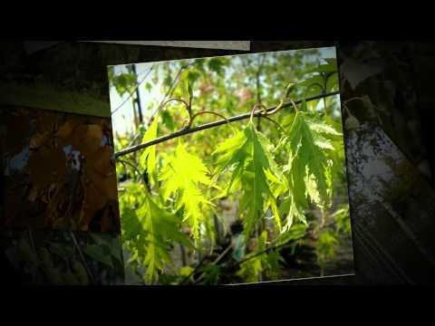 Береза бородавчатая, или повислая (Betula pendula)