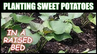 Growing Sweet Potatoes In A Raised Bed