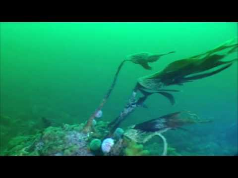 Drift Diving , Strömungstauchen in Norwegen, Nærøy,Norwegen