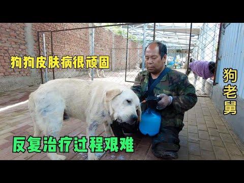 小德牧被老舅送去庄上生活,粉丝不想让母子分离,又接回基地    -Dog rescue in China-   20210425