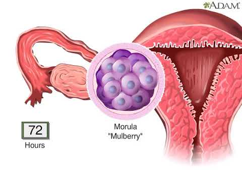 Как проходит процесс зачатия и оплодотворения?