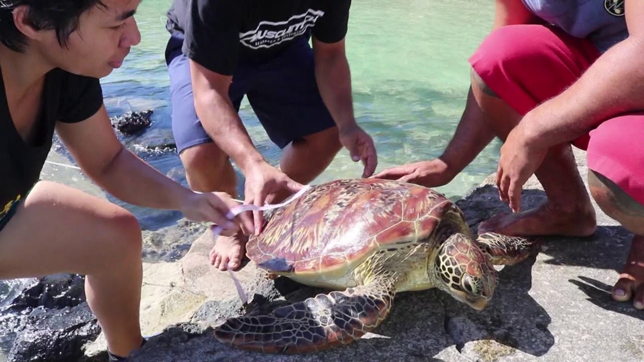 "MNRE attends to ""captured turtle"" caseIsland reported from Manono"
