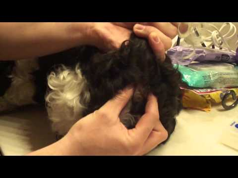 shih tzu anal gland anal sac disease in dogs and cats group s video improve com 4701