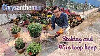 3 Things Must Do In Growing Chrysanthemum