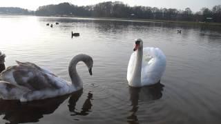 preview picture of video 'Гродно-Юбилейка-лебедята(swans) подросли,но улетать рано-11.11.14'