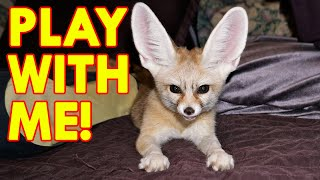 The Little Fox is Played in The Yard! Funny Animals Run and Jump