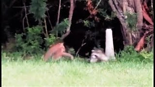 Bobcat vs Raccoon - Fascinating fight scene