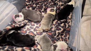 What To Expect The First 48hrs For Newborn Puppies