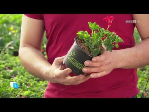 Beet- und Balkonblumen: Trends 2017