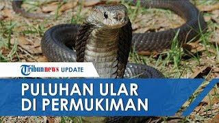 VIDEO Puluhan Ular Kobra Muncul di Permukiman Warga Bogor, Lihat Penampakannya