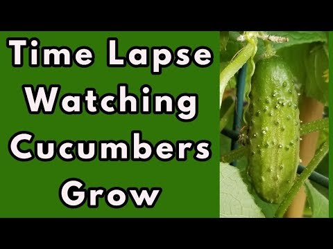 , title : 'Time Lapse - Watching Cucumbers Grow