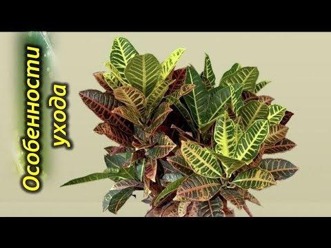 Кротон (Кодиеум) - секреты и особенности выращивания.
