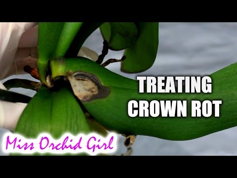 , title : 'How to save Orchids from crown rot using non toxic substances