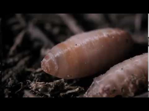 Le gingembre les parasites de lintestin