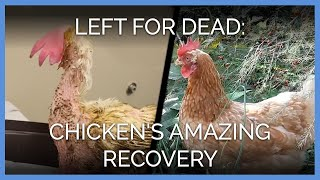 Rescued Chicken Makes INCREDIBLE Transformation