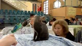 Выставка кошек. Холон. Israel   תערוכת חתולים