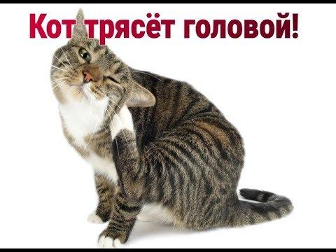 Кот трясёт головой