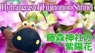 京都・藤森神社の紫陽花