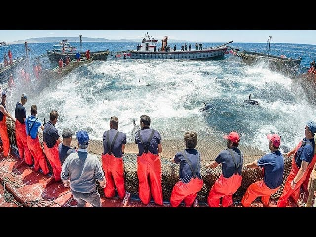 Mọi người nên xem video của Ngư dân này - Cá lớn bắt hàng trăm tấn với thuyền lớn hiện đại