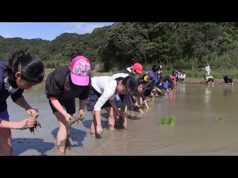 種子島の学校活動:茎南小学校もち米田植え体験2019年