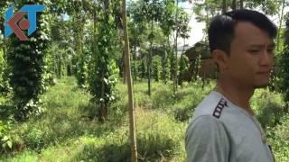 Vườn Tiêu Chăm Sóc Theo Huớng Sinh Học Tại Đăk Sin,   Đắk Rlâp, Đắk Nông
