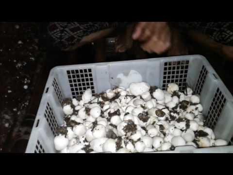 Video Budidaya Jamur Merang Media KAPAS