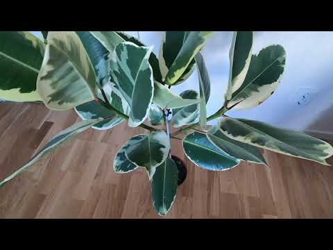 """, title : 'How to take care of Ficus Elastica """"Tineke""""  - Rubber plant with my personal tips 