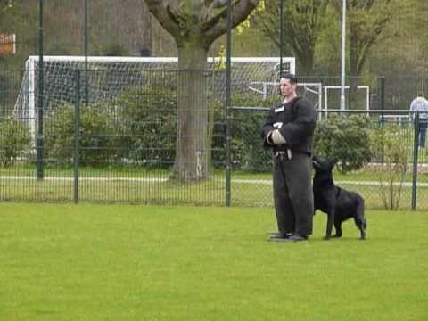 Politiehond Macho in actie tijdens de training