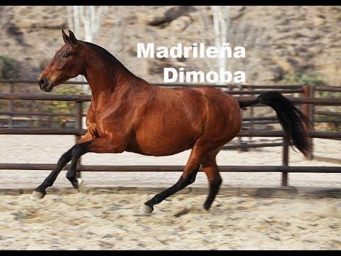 Videos de caballos y yeguas españoles