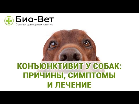 Конъюнктивит у Собак: Причины, Симптомы и Лечение // Сеть Ветклиник БИО-ВЕТ