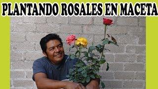 PLANTANDO ROSALES EN MACETA