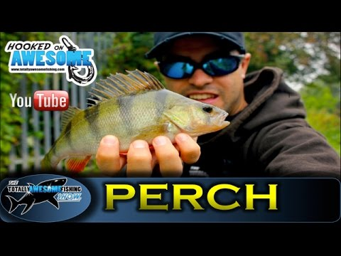 PERCH FISHING with soft plastic lures – TAFishing Show