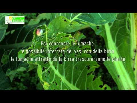 Cresciamo magri dopo la consegna le foglie di stomaco