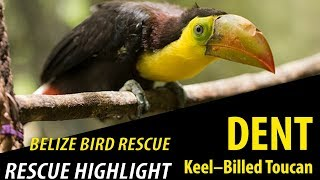 """Dent"" the Keel-Billed Toucan - Rescue Highlight"