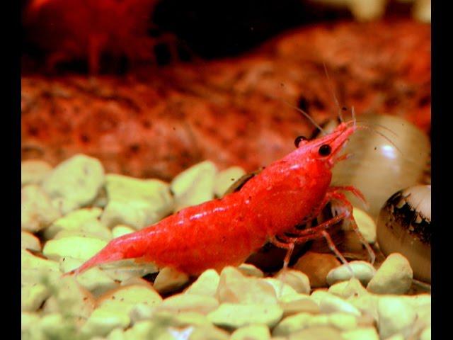 Cherry Shrimp, Neocaridina davidi var Red-Species Spotlight