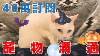 【豆漿40萬訂閱】很不受控 這隻貓肯定是來亂的
