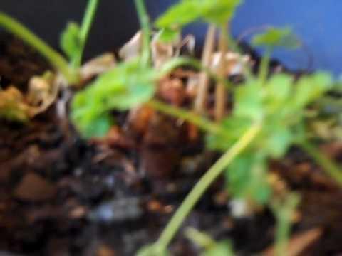 Ano ay ang paggamit ng flaxseed langis para sa buhok