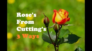 Roses From Cuttings 3 Ways(Easy)