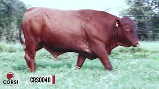 [VENDIDO]Crs torino 0040 fiv- Reprodutor Senepol PO