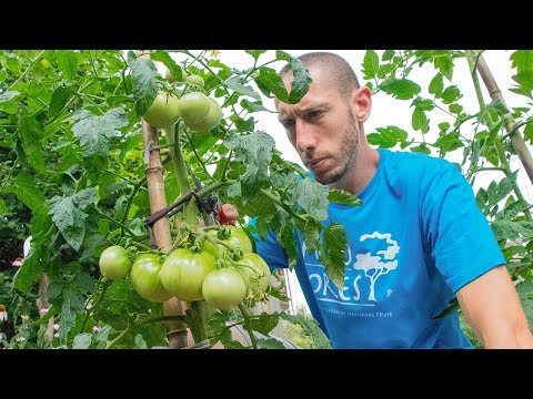 , title : 'Grow Tomatoes NOT Leaves | How to Prune Tomato Plants for LOTS of Fruit