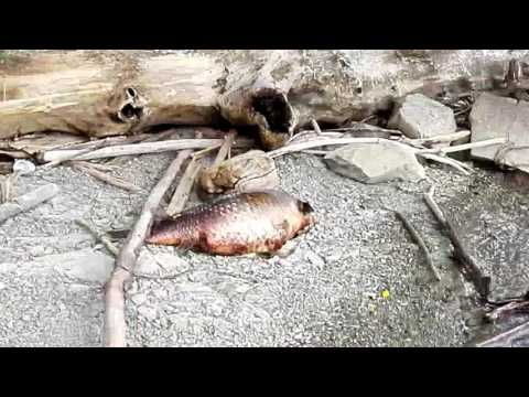 La pesca nella bocca di Volkhov di video